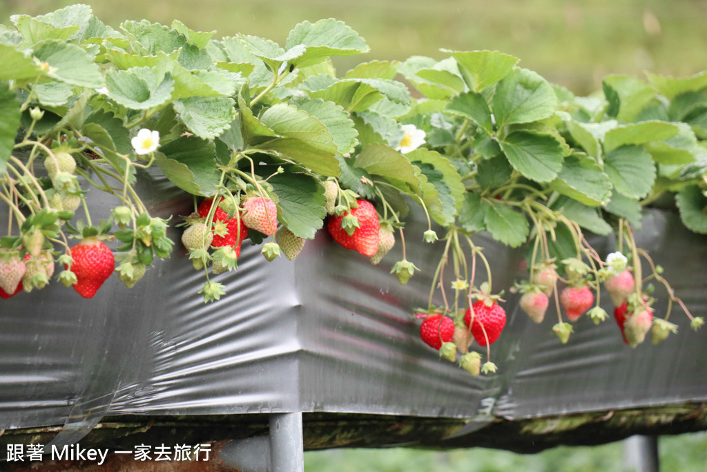跟著 Mikey 一家去旅行 - 【 大湖 】雙坑高架草莓園