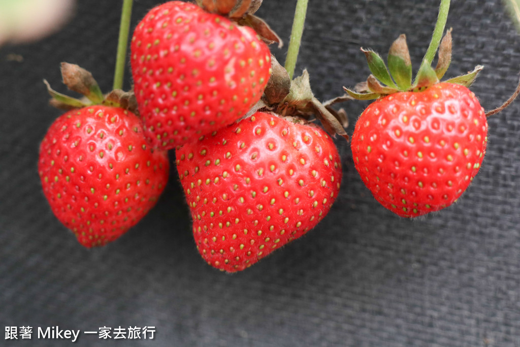 跟著 Mikey 一家去旅行 - 【 大湖 】阿雪高架草莓園