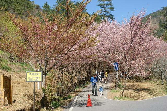 跟著 Mikey 一家去旅行 - 【 和平 】武陵農場 - 櫻花雨
