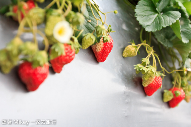 跟著 Mikey 一家去旅行 - 【 大湖 】大湖金榜草莓園
