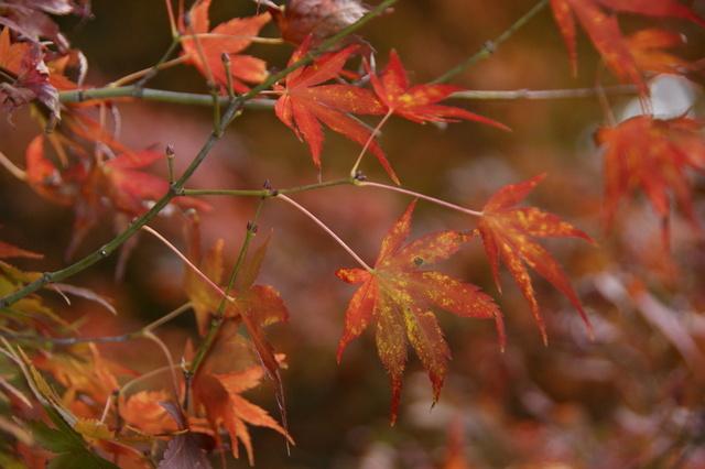 跟著 Mikey 一家去旅行 - 【 和平 】福壽山農場 - 楓紅之美