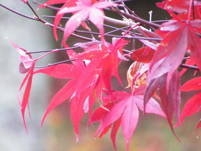 跟著 Mikey 一家去旅行 - 【 和平 】武陵農場 - 武陵楓紅