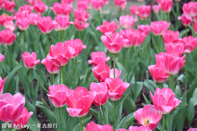 跟著 Mikey 一家去旅行 - 【 復興 】桃源仙谷 - 彩虹花田